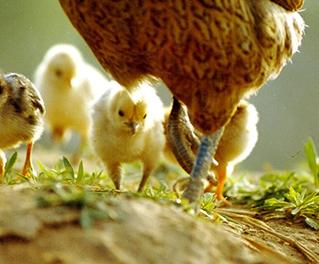 禽类全产业链管理软件
