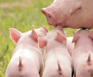 生猪养殖ERP管理软件