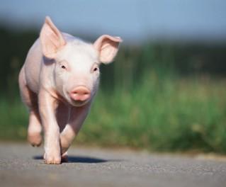 MTC猪场管理信息化系统